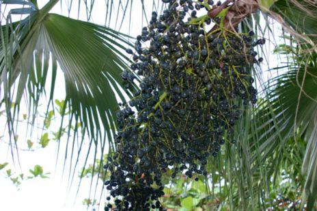 Jagody Acai - owoce dla zdrowia i ciała