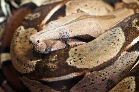 Wąż boa – egzotyczny pupil