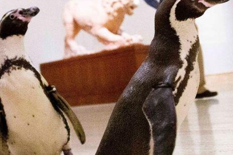 Nie tylko ludzie mają już dość izolacji. Te kochające sztukę pingwiny, skradły nasze serca.