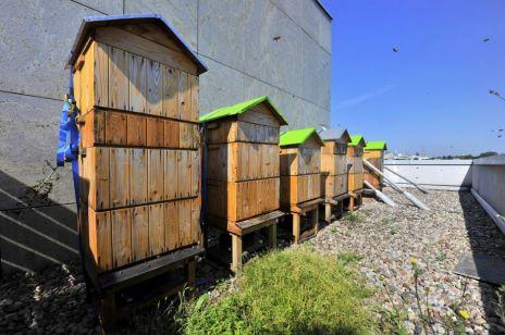 Pszczoły w mieście – konieczność czy moda?