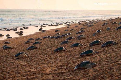 Żółwie wracają na wybrzeże Indii: pod nieobecność ludzi składają jaja
