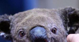 Koala z Australii uratowany z pożaru przez kobietę: to wideo chwyta za serce