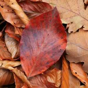 Andrzejki 2017: wróżenie z czerwonego liścia