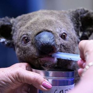 Koala z Australii uratowany z pożaru przez kobietę