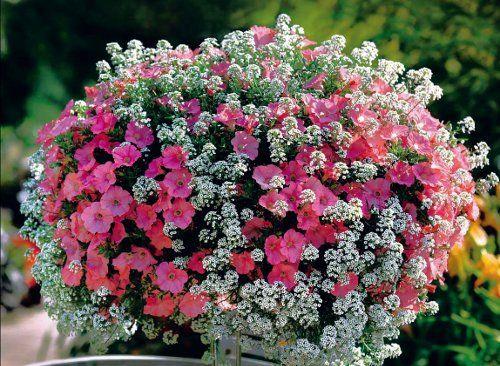 Najnowsze Odmiany Kwiatów Na Balkon Kobietapl