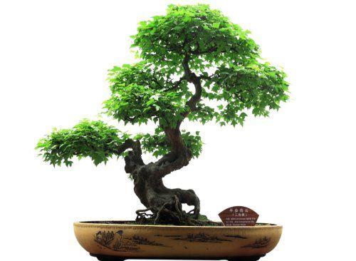 Jak Hodować Drzewko Bonsai Kobietapl