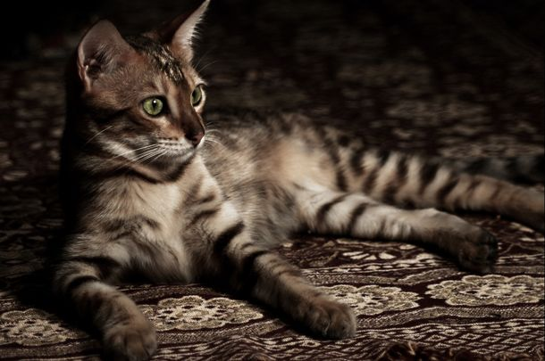 Kot Bengalski Dziki Kot W Domu Kobietapl