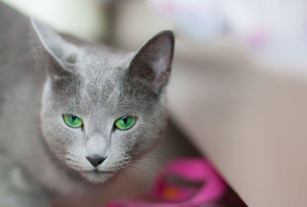 Rasy Kotów Najlepsze Do Domu Kobietapl