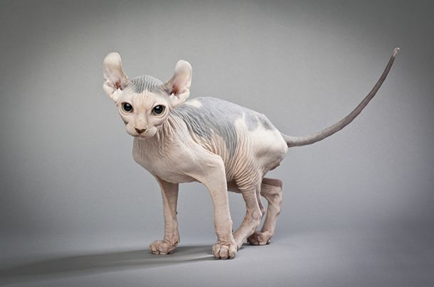 Sfinks Kot Pofałdowany Kobietapl