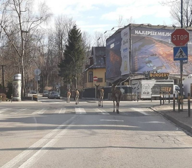 Łanie na ulicach Zakopanego